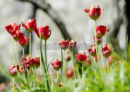 tulpen nachtfrost blume gras baum wiese