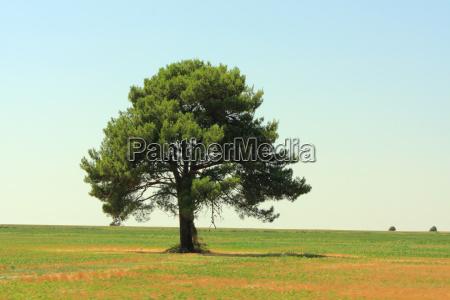 tree pine field width solitaire meadow