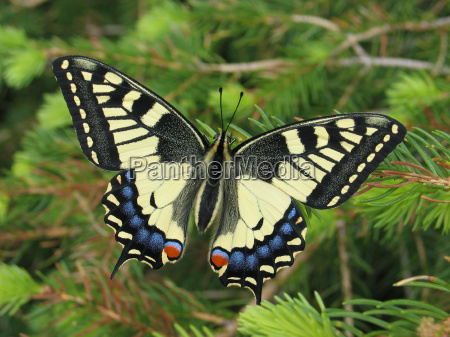 butterfly animals conifer topview swallowtail complete