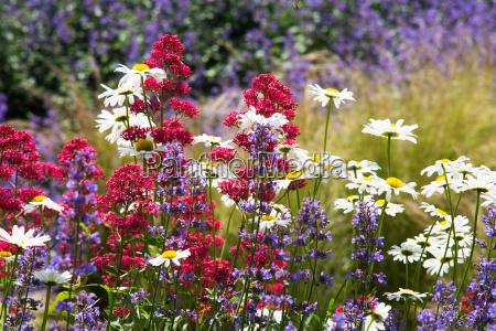 flower plant summer summerly marguerite meadow