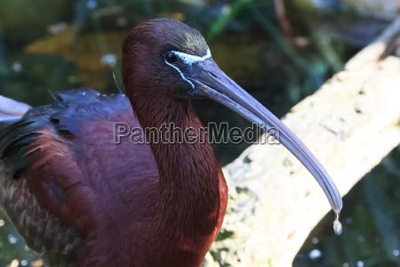 animal passaro glossy ibis