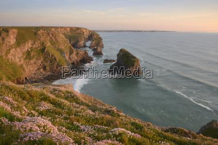sea thrift growing on cliffs overlooking